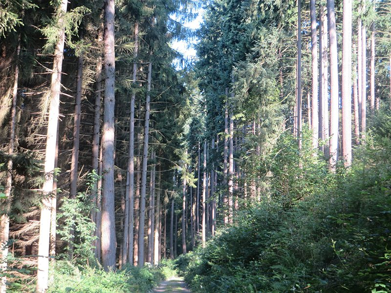 Hier steht ein Bild mit dem Titel: Mit aller Macht streben die Bäume hier im Tal zum Licht (Foto: Hans-Joachim Schneider)