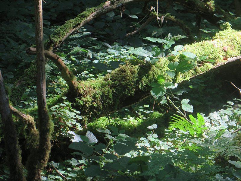 Hier steht ein Bild mit dem Titel: Das Grün der Bäume, Sträucher und Moose fasziniert mich immer wieder (Foto: Hans-Joachim Schneider)