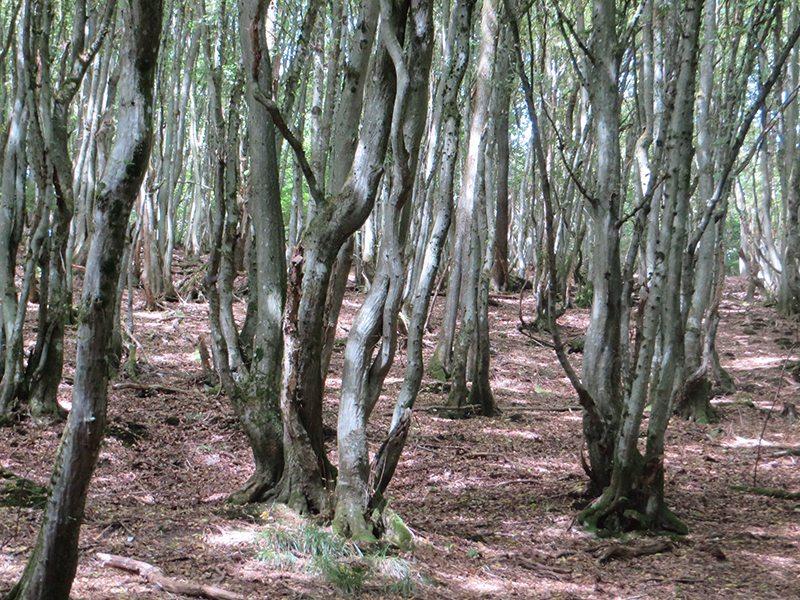 Hier steht ein Bild mit dem Titel: So ganz normal scheinen mir die jungen Bäume hier nicht zu sein (Foto: Hans-Joachim Schneider)