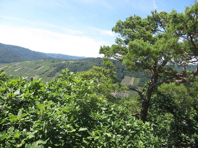 Hier steht ein Bild mit dem Titel: Von den freien Stellen im Anstieg fällt der Blick weit über die Hügel jenseits der Ahr (Foto: Hans-Joachim Schneider)