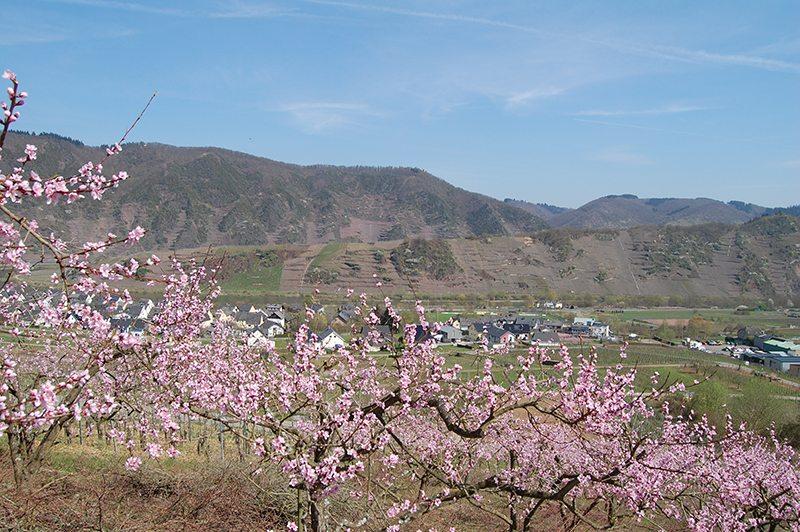 Blüten, rosa, Weinberge, Weinbergpfirsichbaum
